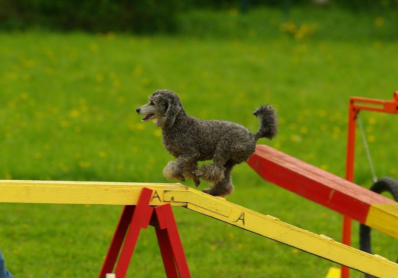 dog agility display