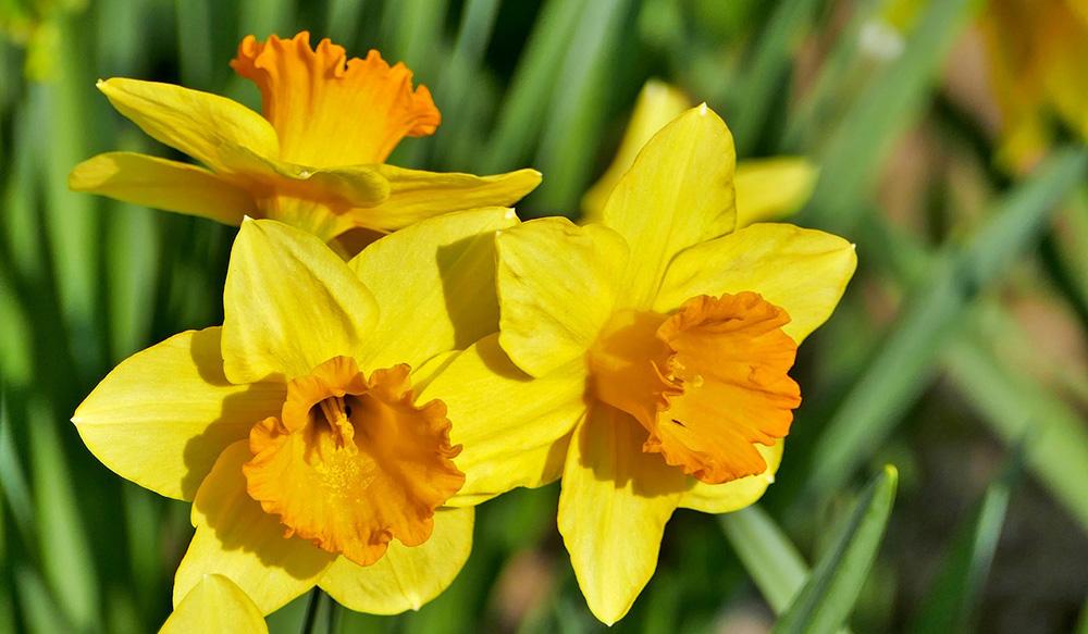 spring holidays daffodils